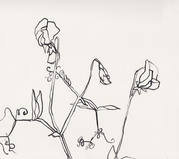 Sweet Peas Drawing