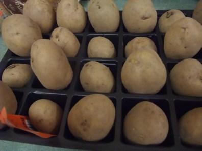 Maris Piper potatoes chitting