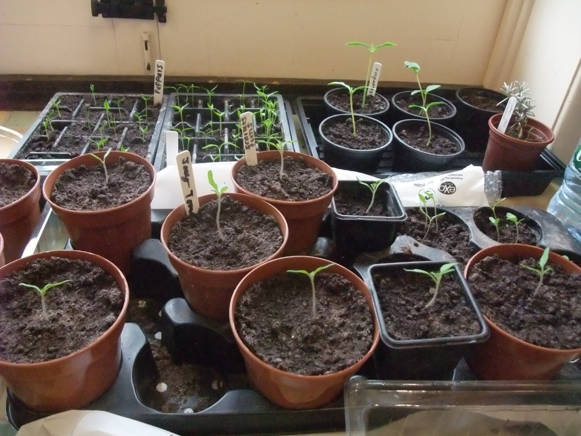 Tomatoes at the front, cucumbers at back on the right, peppers at back on the left!