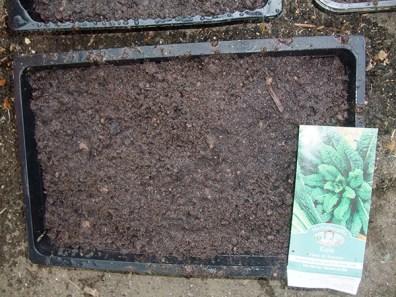 Kale sown