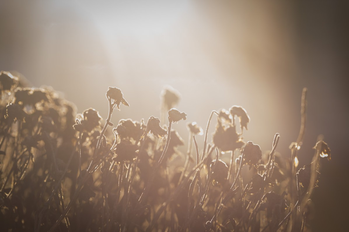 27-365-driedflowers-5
