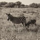 Auf dem Rückweg sahen wir noch eine Zebramama mit ihrem unglaublich süßen Baby