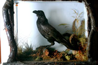 "Charles Dickens' pet raven, Grip, and the inspiration behind Edgar Allan's poem, ""The Raven"""