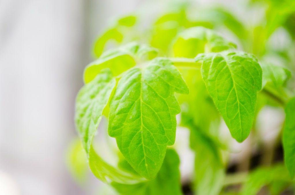 tomaten plant teeltwisseling tuinbouw lisette schrijft