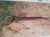 Een echte python, zo in het wild