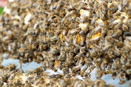 Biene forsegler dronningceller. Foto: Lise von Krogh.