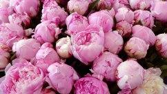 Flower market peonies in Nice, France