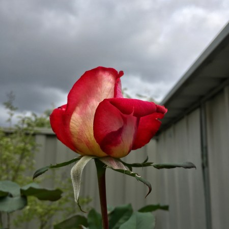 A rose set against a cloudy sky and grey colourbond fence