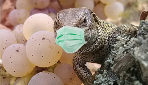masked lizard