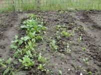 radishes - i don't really know how they will turn out though