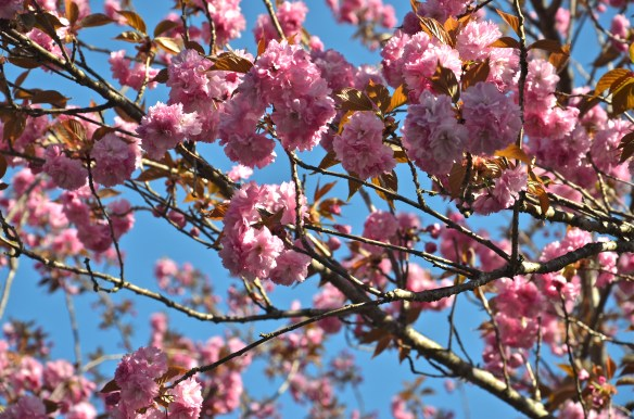 Clusters of pink against the Carolina blue sky