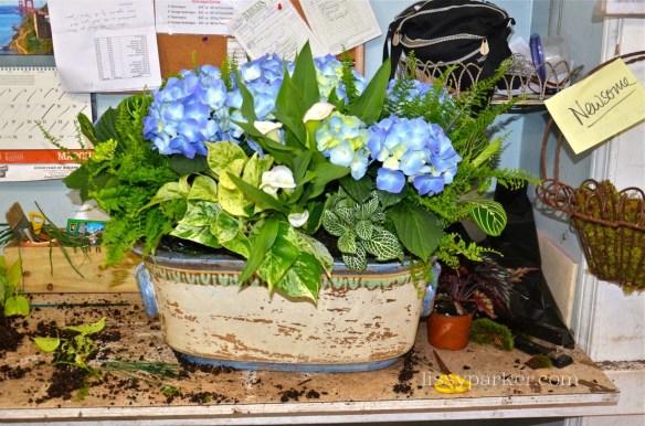 Spring works in progress—great blue hydrangea
