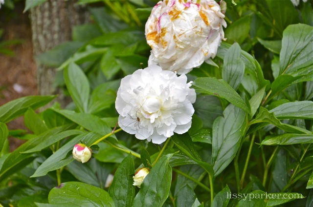 Beautiful peonies lead the way to the main house
