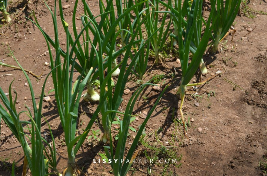 The onions and garlic were almost ready for harvest