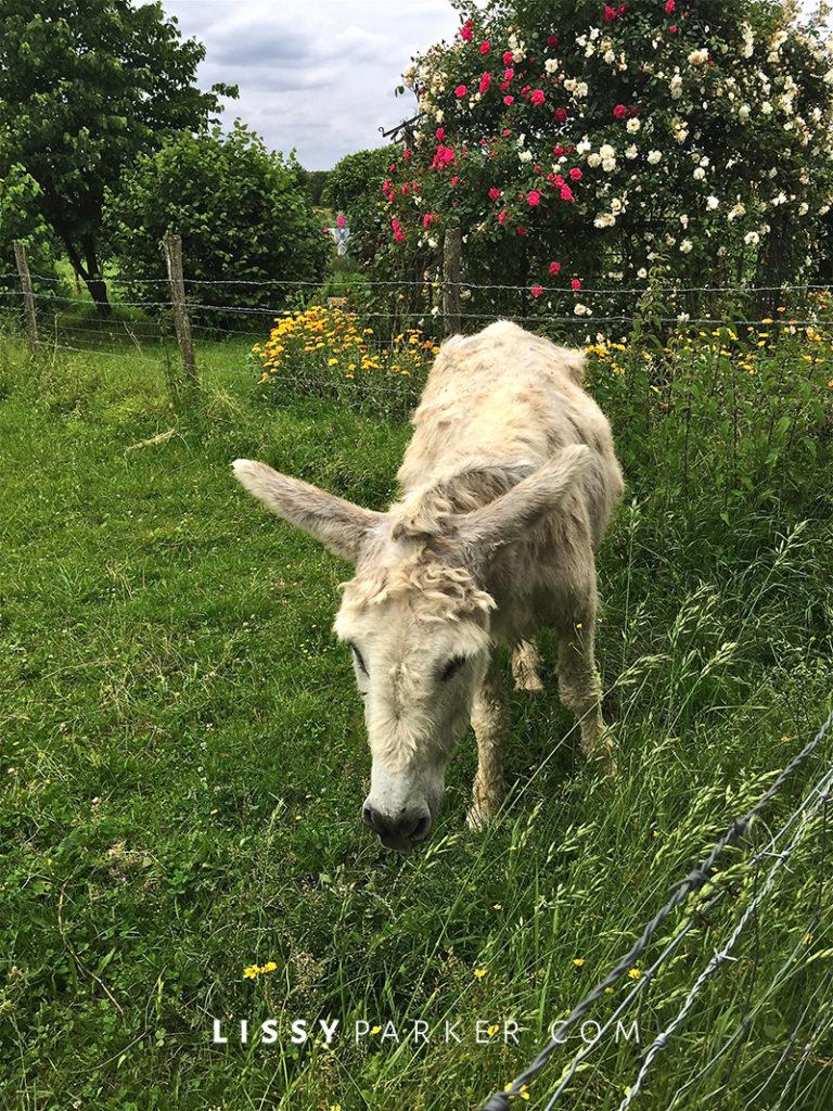 Warm friendly France-white donkey grazing in the garden