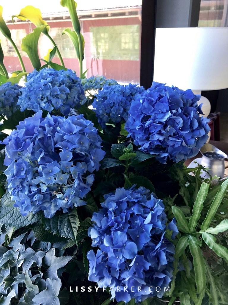 deep blue hydrangea in pot