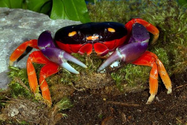 Halloween-Moon-Crab-Beautiful-Crab-7