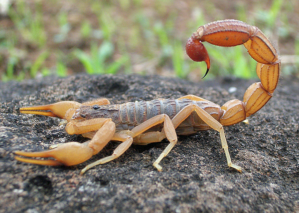 Indian Red Scorpions