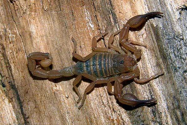 Zabius Fuscus Scorpion