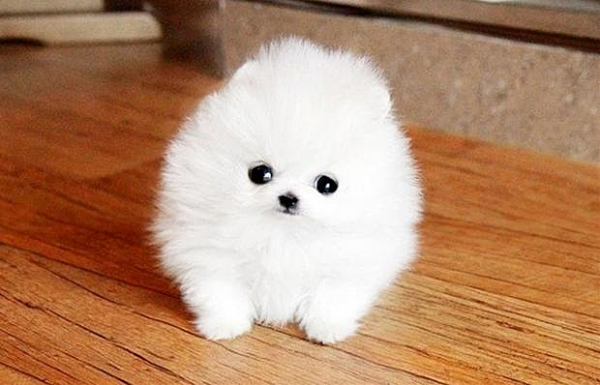 10 Cutest Dog Breeds Of All Time Listamaze