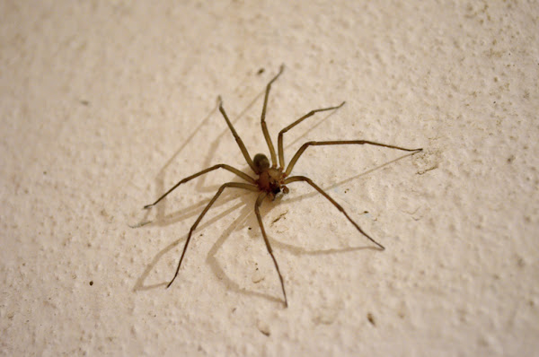Brown and Chilean Recluse Spider