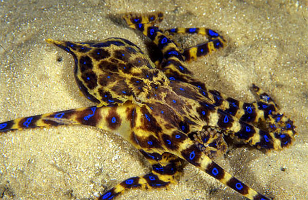 Blue Ringed Octopus