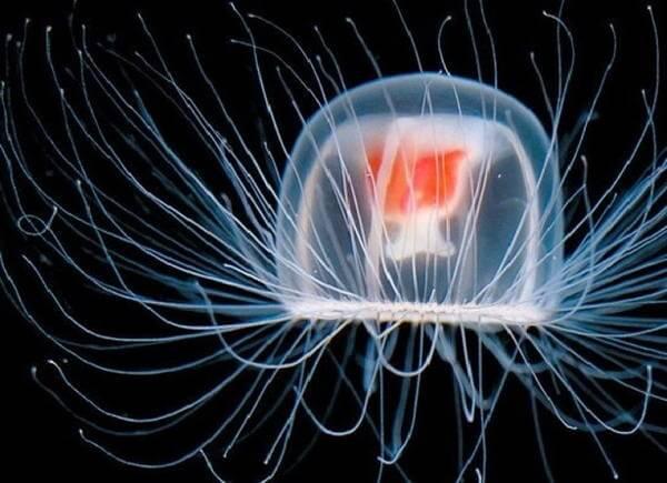 Turritopsis Jellyfish