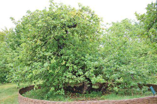 The Apple Tree of Issac Newton