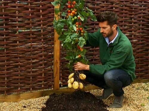 Tomato and Potato Tree