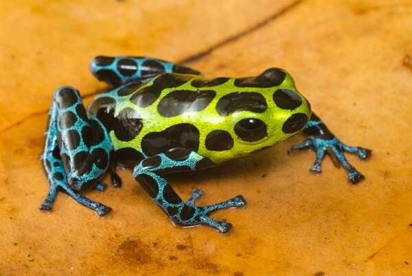Splash Backed Poison Frog