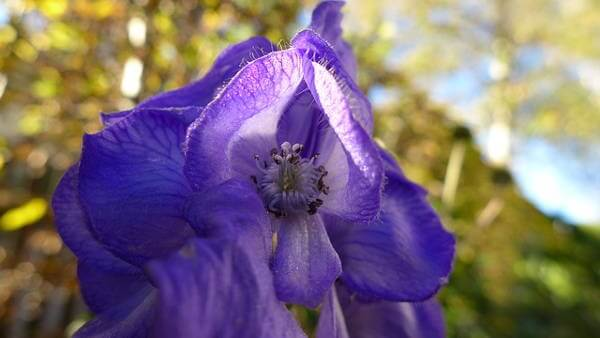 Poisonous Monkshood Plant