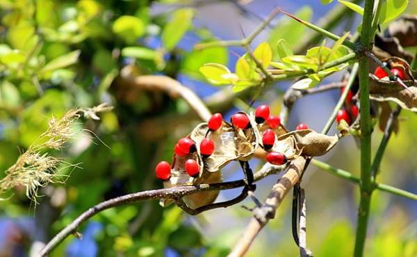 Poisonous Rosary Pea Plant