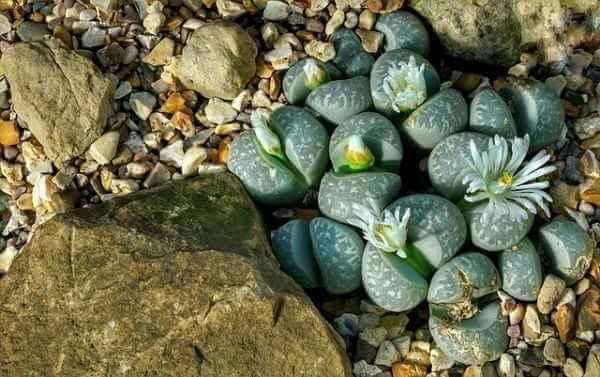Stone Plant or Lithos