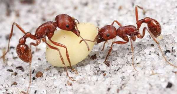 Florida Harvester Ant