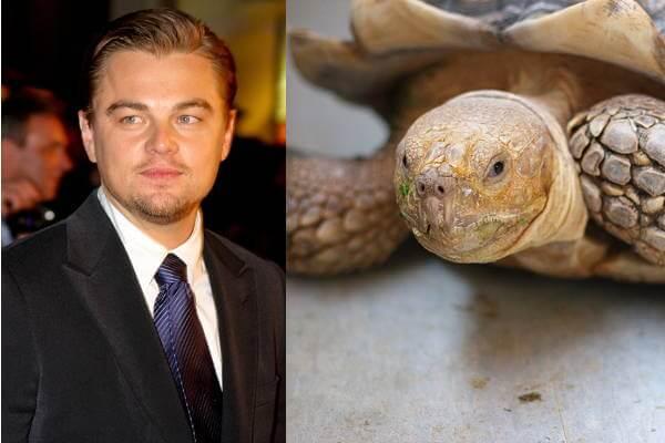 Leonardo DiCaprio'sAfrican Spurred Tortoise