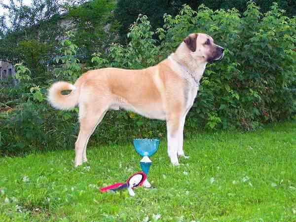 47++ Anjing turkish kangal terbaru