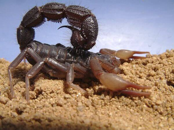 Spitting Thick tail Black Scorpion