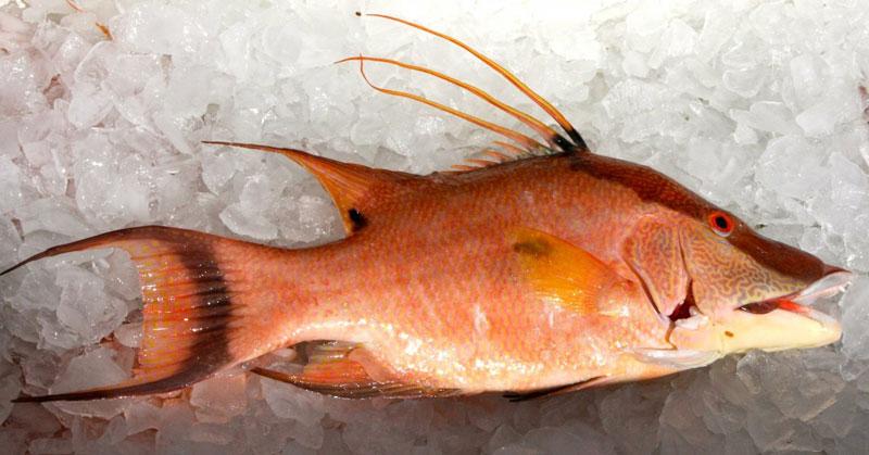 Strangest-Fish-Hogfish