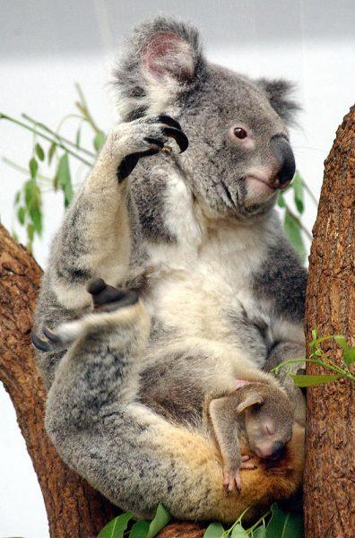koala-bear-baby