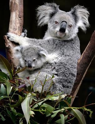 koala-kese