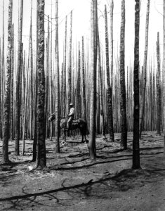 Tree remnants of the biggest forest fire in american history in 1910