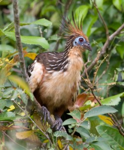 Hoatzin in Guyana rainforest