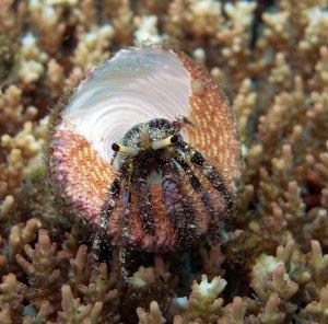 hermit_crab_dardanus_in_trochus_shell_IMG_2414