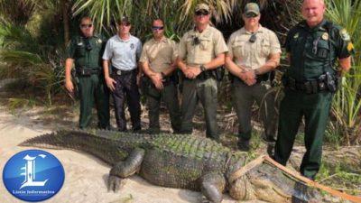 Capturan en Miami caimán de cuatro metros.