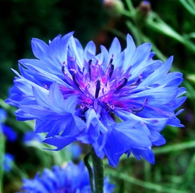 3-packs-of-blue-font-b-cornflower-b-font-seed-1-pack-50-seeds-centaurea-cyanus
