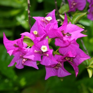 bougainvillea-sp-5