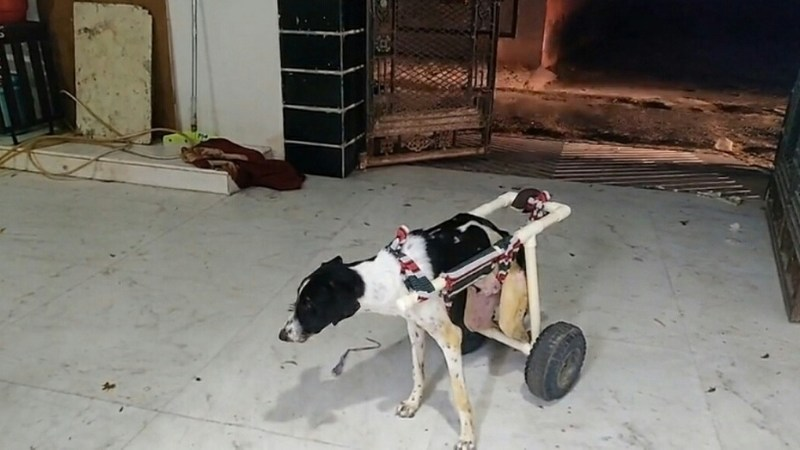 Wheelchair for Street Dogs, Bikaner Man Low-cost Innovation-brainstorming idea