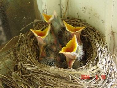 Babybirds Miller 061705