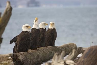 Eagles-Birds Mg0752