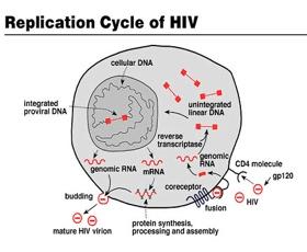 Hiv Cycle